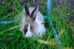 Azja piękni króliki na zielonej trawy polu Obrazy Stock