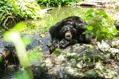 Azja przyrody Tropikalny zwierzę, Asiatic Czarnego niedźwiedzia księżyc niedźwiedź, chested niedźwiedź jest średniej wielkości ni fotografia stock