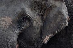 Azja słonie, słonie Zdjęcia Royalty Free