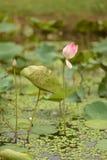 Azja, Wietnam, Różowy lotosowy kwiat Zdjęcia Stock