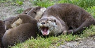 azjaci pazurzasty mały wydrowy ziewanie Obrazy Stock