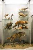 Azjata Chiny, Pekin, Krajowe Zwierzęce Museumï ¼ ŒAnimal próbki Zdjęcia Stock