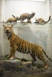 Azjata Chiny, Pekin, Krajowe Zwierzęce Museumï ¼ ŒAnimal próbki Obraz Royalty Free
