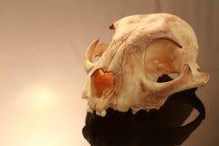 Azjata goldden kot czaszkę na czarnym tle obrazy royalty free