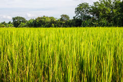 Azjata krajobraz z ricefield obraz royalty free