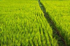 Azjata krajobraz z ricefield Zdjęcie Stock
