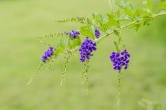Azjata kwiaty wymieniający Zdjęcia Royalty Free