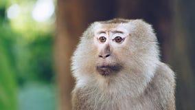 Azjata małpa w lesie Zdjęcia Royalty Free