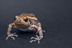 Azjata malująca żaba Obrazy Royalty Free