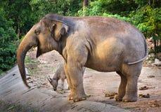 Azjatyccy żeńscy słonie wśród zoo ` s natury zdjęcia royalty free