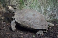 Azjatyccy gigantycznego tortoise Manouria emys Zdjęcie Stock