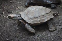 Azjatyccy gigantycznego tortoise Manouria emys Obraz Royalty Free