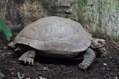 Azjatyccy gigantycznego tortoise Manouria emys Zdjęcia Stock