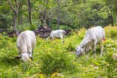 Azjatyccy kowboje śpi na skałach i krowy je trawy w lesie Obrazy Stock