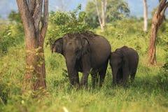 Azjatyccy słonie rodzinni w Uda Walave park narodowy Zdjęcia Stock