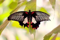 Azjatyccy swallowtail Papilio polytes siedzi na liściu zdjęcie royalty free