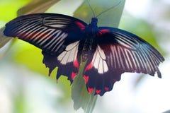 Azjatyccy swallowtail Papilio polytes siedzi na liściu zdjęcia stock