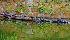 Azjatyccy terrapin żółwie Zdjęcia Royalty Free