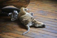 Azjatyccy tygrysy odróżniają się w ich żywych terenach zdjęcie stock