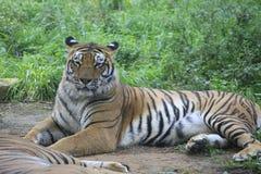 Azjatyccy tygrysy odróżniają się w ich żywych terenach zdjęcia stock