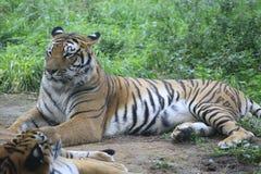 Azjatyccy tygrysy odróżniają się w ich żywych terenach fotografia royalty free