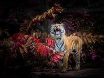 Azjatyccy tygrysy oglądają zdobycza w naturalnym zdjęcia royalty free