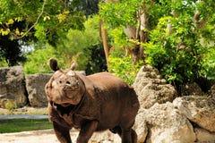 Azjatycka nosorożec obrazy royalty free