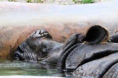 Azjatycka nosorożec w basenie woda fotografia royalty free