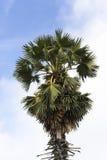 Azjatycka Palmyra palma na nieba tle Waluty palmy rośliny zdjęcia stock