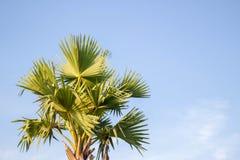 Azjatycka Palmyra palma, Toddy palma, Cukrowa palma, Kambodżańska palma Obraz Royalty Free