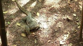 Azjatycka wodnego monitoru jaszczurka unika wodnego kropidło zbiory