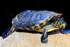 Azjatycki żółw Fotografia Stock