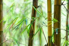 Azjatycki Bambusowy las z światłem słonecznym Obrazy Royalty Free