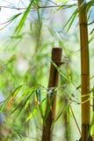 Azjatycki Bambusowy las z światłem słonecznym Fotografia Royalty Free