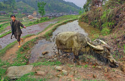 Azjatycki chłopski rolnik, prowadzenie wodny bizon wiążący arkana. zdjęcia royalty free