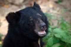 Azjatycki Czarnego niedźwiedzia headshot zakończenie up Obraz Royalty Free