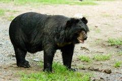 Azjatycki czarny niedźwiedź Zdjęcie Stock