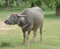 Azjatycki Czarny Wodny bizon przy trawy polem obraz royalty free