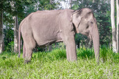 Azjatycki elephent w Thailand Zdjęcia Royalty Free