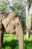 Azjatycki elephent w Thailand Obrazy Stock
