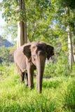 Azjatycki elephent w Thailand Zdjęcie Royalty Free
