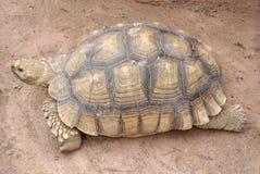 Azjatycki gigantyczny tortoise Obrazy Stock