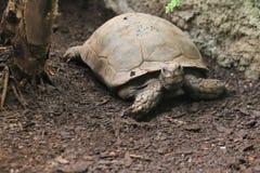 Azjatycki gigantyczny tortoise Obrazy Royalty Free