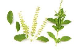 Azjatycki Horsetail - Chaom akacja, liście i gałąź chaom, zielone rośliny specjalnego aromat U?ywa? w kulinarnym jedzeniu, wy?mie fotografia royalty free