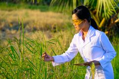 Azjatycki kobieta badacz monitoruje ilość ryż zdjęcia stock