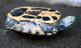 Azjatycki lasowy tortoise fotografia stock