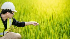 Azjatycki męski agronom obserwuje na ryżu polu obrazy stock