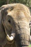 Azjatycki Pachyderm słonia zbliżenie 2 obrazy royalty free