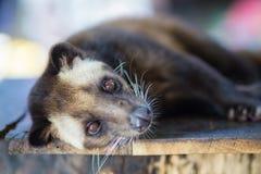 Azjatycki Palmowy cybet produkuje Kopi luwak Obrazy Royalty Free