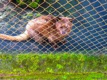 Azjatycki Palmowy cybet - zwierzę który produkuje drogiego kawowego Kopi luwak Zdjęcie Royalty Free